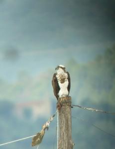 FalcoPescatore