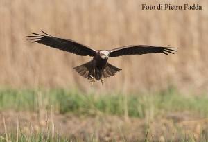 52 falco di palude. foto di Fadda Pietro