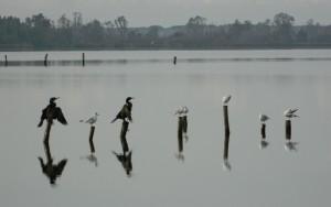 cormorani su pali