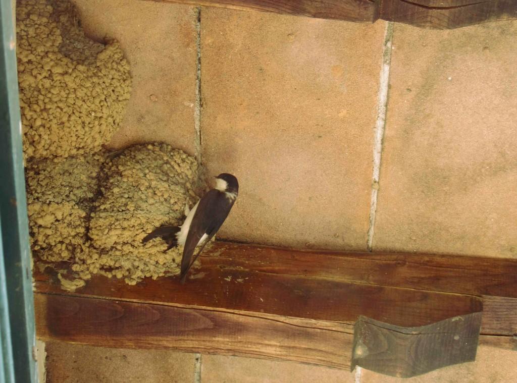 Balestruccio nido