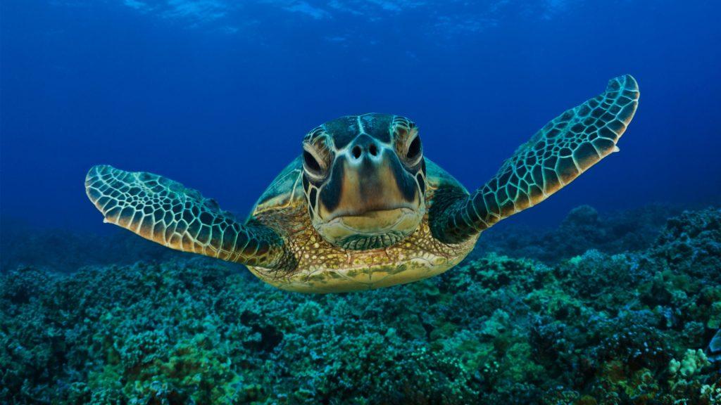 tartaruga-marina_migrazione
