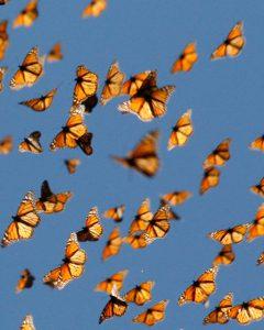 migrazione_farfallamonarca