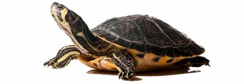 Oasilipumassaciuccoli la fiera delle tartarughe for Tartarughe di acqua dolce