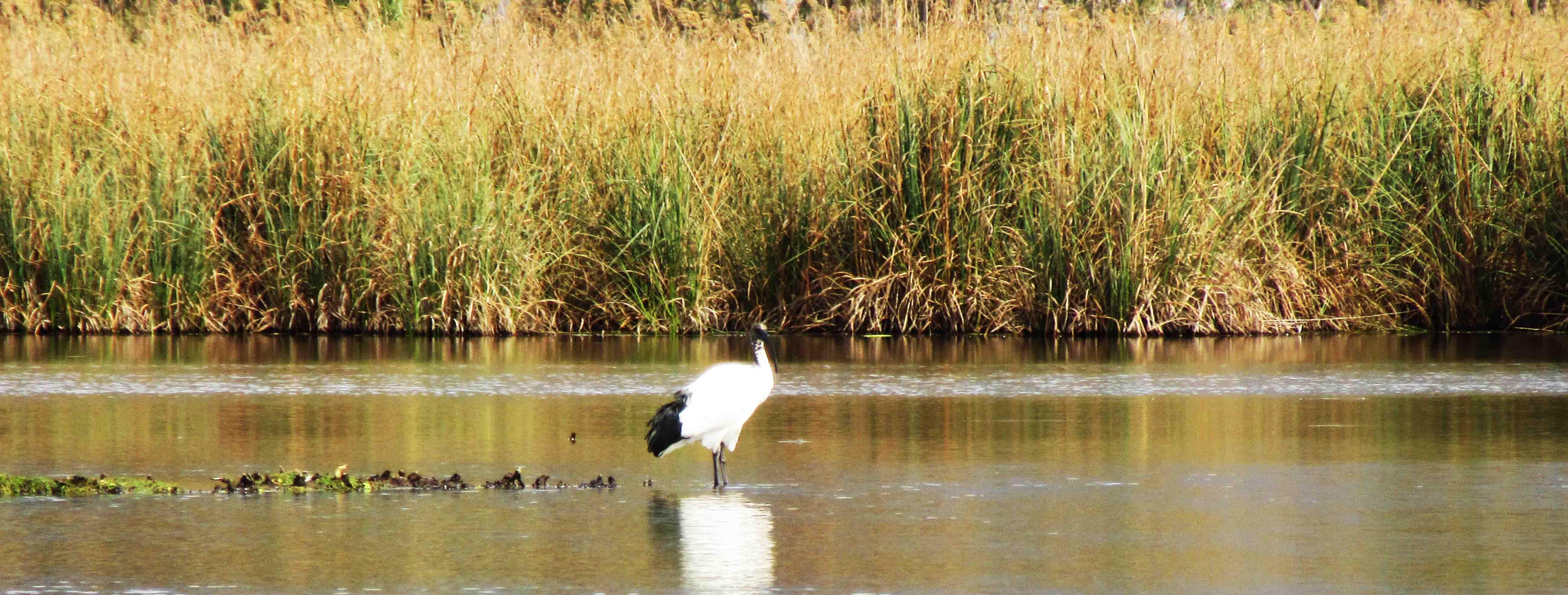 ibis-sacro