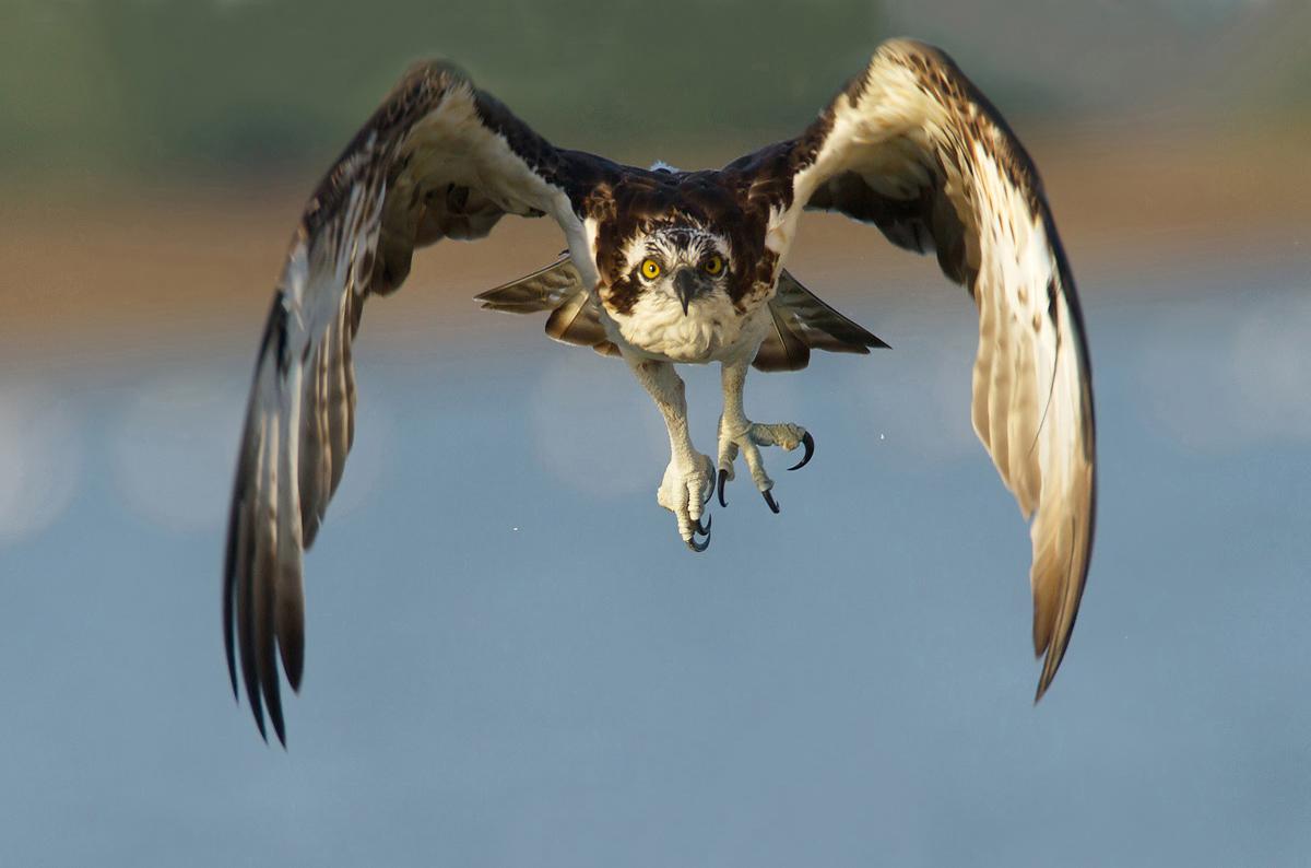 oasi massaciuccioli falco pescatore